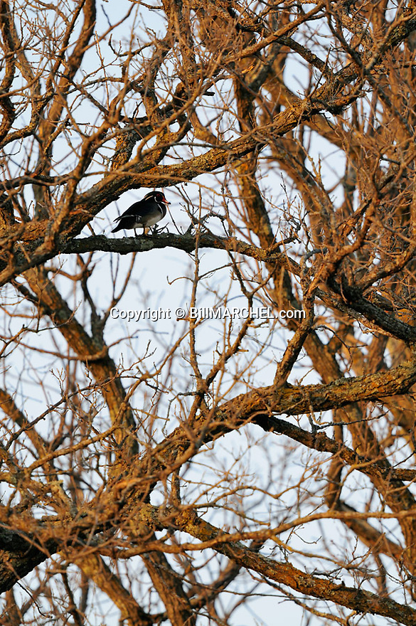 00360-105.02 Wood Duck drake is perched in bur oak tree.  Hunt, waterfowl, forest.