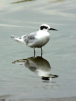 Adult Forster's tern in non-breeding plumage