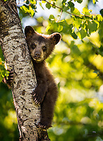 This tiny Black Bear (Ursus americanus) was one of five spring cubs born to an experienced mother in 2014.  Seemed like a bit of a loner - this one stayed to itself but seemed intrigued by the photographers below.