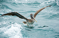 A Brown Pelican, Pelecanus occidentalis, lands in the Caribbean Sea near Gibara, Cuba
