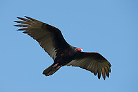 Turkey Vulture (Cathartes aura). Yucutan, Mexico. February.