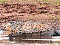 Nile crocodile, Crocodylus niloticus, adult, basking in the sun on the shoreline of Lake Kariba, Zimbabwe