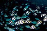 Bannerfish school,Longfin bannerfish, Heniochus acuminatus, Maldives