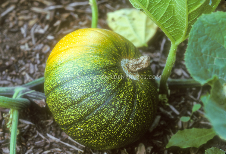 Pumpkin Baby Bear, a small variety growing on the vine and turning orange from green