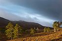 Scots Pines {Pinus sylvestris} in storm light. Deeside, Braemar, Cairngorms National Park, Grampian Mountains, Scotland, UK, February.