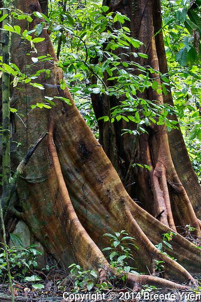 Borneo Buttress Rainforrest Trees
