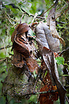 Adult satanic leaf-tailed gecko (Uroplatus phantasticus) camouflaged on dead leaves. From rainforest understory in Ranomafana National Park, Madagascar.