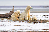 When a large male Polar Bear approached this mother with two spring cubs, she sprang to attention and let the male know that she had his number.  He didn't want any part of messing with this mom, who served as the perfect guardian for her young cubs.  Kaktovik, Alaska.