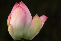 Pink lotus flower opening