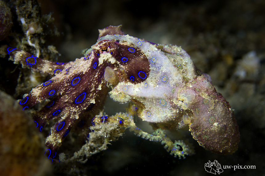 Mating Blue-ringed Octopus  (Hapalochlaena sp.)