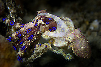 Mating Blue-ringed Octopus  (Hapalochlaena sp.)