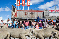 Great Montana Sheep Drive - Reed Point