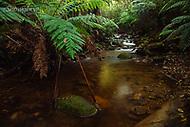 Image Ref: YR173<br /> Location: Wirrawilla Rainforest, Toolangi<br /> Date: 27.01.18
