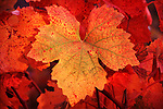 Colorful barbara grape leaf in autumn, Cooper Vineyards, Amador Co., Calif.