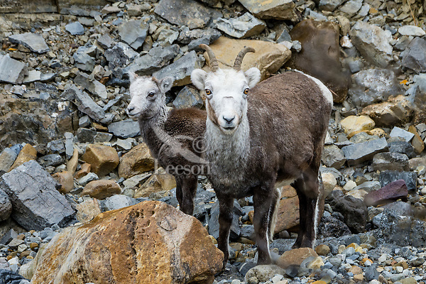 Stone sheep or Stone's sheep (Ovis dalli stonei), a southern subspecies of Thinhorn Sheep, ewe and lamb.  Northern British Columbia.  Sept.