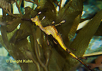 TP10-502z  Weedy Sea Dragon, Phyllopteryx taeniolatus