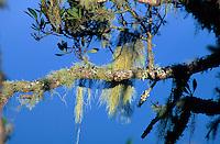 Naturpark Garjonay, Flechten auf Nadelbäumen, Gomera, Kanarische Inseln, Spanien