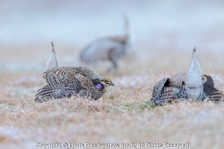 Sharp-tailed grouse dancing on a lek after a spring snow shower.