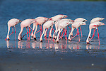 Greater Flamingos (Phoenicopterus roseus) feeding in shallow lake.  Ndutu area, Ngorongoro Conservation Area NCA / Serengeti National Park.