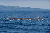 Northern Bottlenose Whale (Hyperoodon ampullatus) four adult animals surface simultaneously, rare unusual image. Azores, Atlantic Ocean MORE INFO: This was part of a group of 13 animals seen South of Pico Island, it is extremely rare to see so many Bottlenose Whales together.