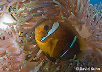 0320-1107  Clark's anemonefish (Yellowtail clownfish), Amphiprion clarkii, with Bulb-tipped Anemone, Entacmaea quadricolor  © David Kuhn/Dwight Kuhn Photography.