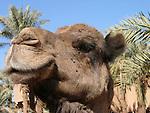 Camel in Zagora in Morocco.