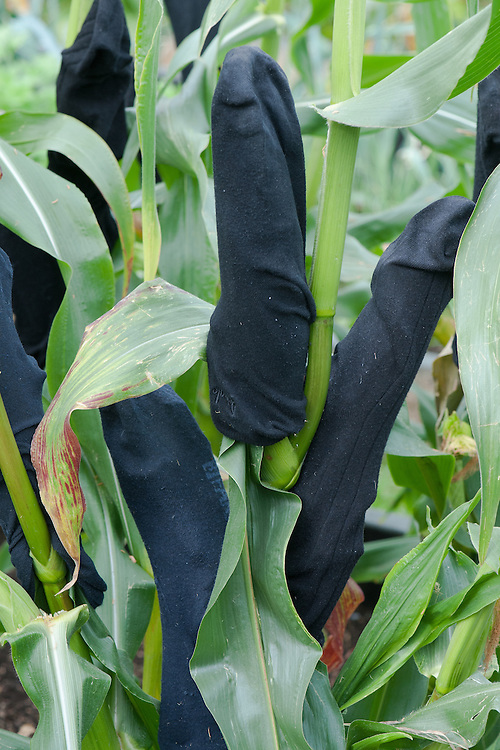 Socks stretched over sweetcorn cobs to prevent them being eaten by birds and rodents.