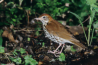 Wood Thrush, Hylocichla mustelina, adult, High Island, Texas, USA, April 2001