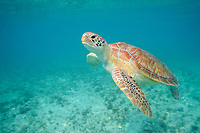green sea turtle, Chelonia mydas, Grand Cayman, Cayman Islands, Caribbean Sea, Atlantic Ocean