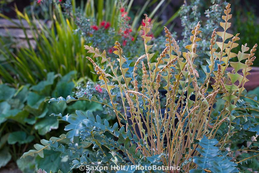 Dryandra drummondii new foliage, Australian Native Plant Nursery, Ventura, California