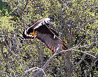 Zone-tailed hawk carrying materials to nest located in tree on bank of Colorado River. This is the second year the hawks have nested there, possibly building on last year's nest. One was observed, see later photo, bringing a lizard to the nest indicating that a chick was being fed. This sequence of photos taken on March 29, 2014.