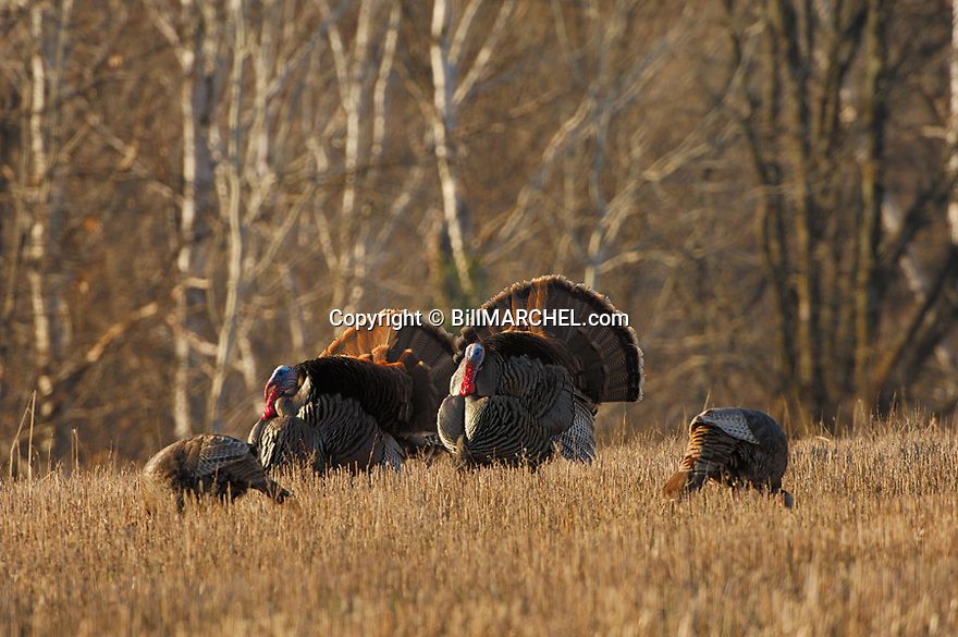 01225-081.01 Wild Turkey (DIGITAL) Three eastern toms are strutting for two hens in oat field next to hardwoods.  Hunt, breed.  H2E1