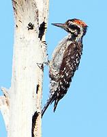 Juvenile male ladder-backed woodpecker