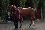 """DEL MAR, CA  AUGUST 25:   #1 Catalina Cruiser, in the paddock before the Pat O'Brien Stakes (Grade ll), Breeders' Cup """"Win and You're In Dirt Mile Division"""" on August 25, 2018 at Del Mar Thoroughbred Club in Del Mar, CA.(Photo by Casey Phillips/Eclipse Sportswire/Getty ImagesGetty Images"""