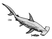 Great hammerhead, Sphyrna mokarran, with pilot fish Naucrates ductor, pen and ink illustration.