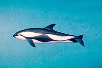 hourglass dolphin, Lagenorhynchus cruciger ( illustration )