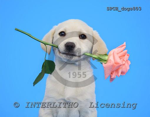Xavier, ANIMALS, dogs, photos, SPCHdogs803,#A# Hunde, perros