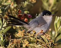 Black-tailed gnatcatcher adult male