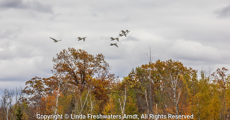 Flock of trumpeter swans flying over a wilderness lake in northern Wisconsin.