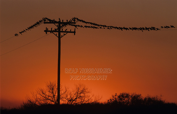 Great-tailed Grackle, Quiscalus mexicanus, flock on wire at sunset, Welder Wildlife Refuge, Sinton, Texas, USA, May 2005