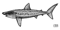 Basking shark, Cetorhinus maximus, lateral view, pen and ink illustration.