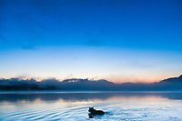 Brown bear swims in Naknek lake just prior to sunrise, Katmai National Park, Alaska.