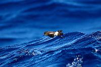 Black-bellied Storm Petrel in Flight off Newcastle