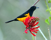 Black-vented oriole on coral bean blossom. This bird is endemic to enterior and highlands of Mexico and Central America. This very rare visitor (January 2011) has drawn crowds of birders to the Bentsen Palm Village RV Resort, adjacent to the Bentsen SP, where it regularly visits the blossoms of coral bean trees.