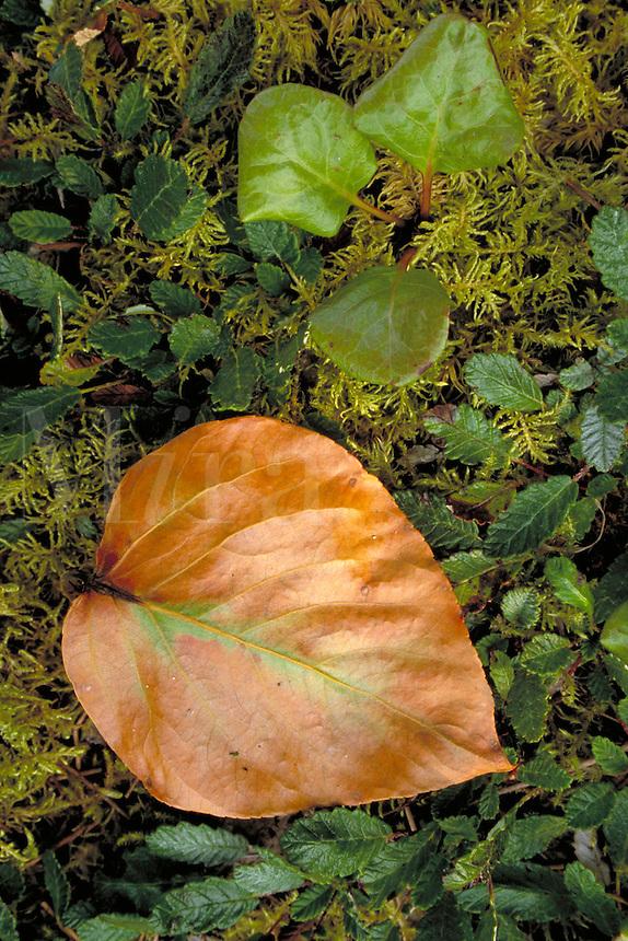 Leaf, moss, Adams Inlet, Nature closeup. Alaska USA Glacier Bay National Park.