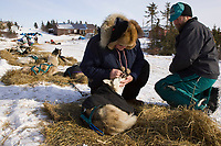 Veterinarian Douglas Chilcoat checks one of Wayne Curtis Siberian Huskies in Koyuk on Friday during Iditarod 2008