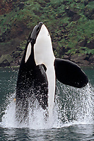 Keiko star of Free Willy movie, orca or killer whale, Orcinus orca, spyhopping showing pectoral fins, Vestmannaeyjar, Westman Islands, Iceland, Klettsvik Bay, Pacific Ocean