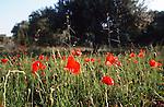 Poppies, Crete