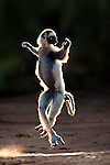 Verreaux's Sifaka (Propithecus verreauxi) skipping across open space in spiny forest. Berenty Private Reserve, southern Madagascar.