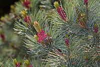 Schwarz-Kiefer, Schwarzkiefer, Kiefer, Blüte, Blüten, Pinus nigra, Pinus austriaca, Black Pine